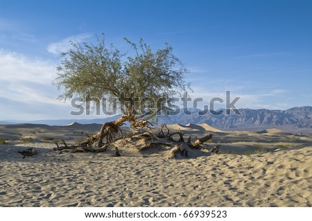 Gnarled tree in the desert of death valley
