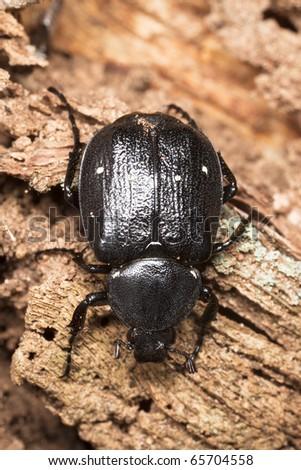 Gnorimus variabilis on oak log, extreme close-up - stock photo