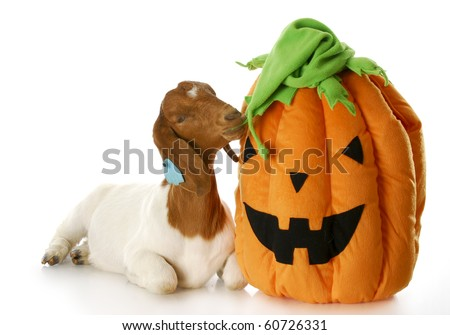 goat and halloween pumpkin - purebred south african boer - stock photo