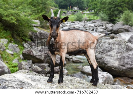 Goat at a river near Foroglio on the Swiss alps