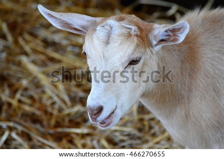 Goat at the Farm