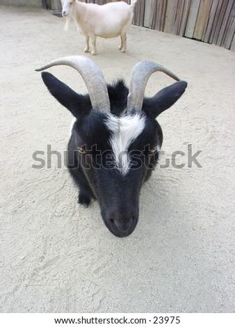 Goat at the San Francisco zoo - stock photo