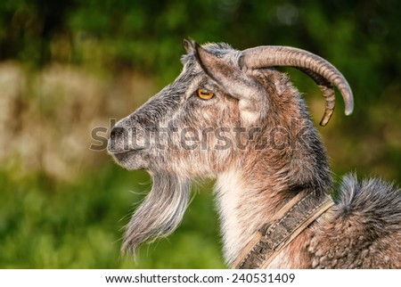goat, capra, profile portrait, chinese zodiac symbol - stock photo