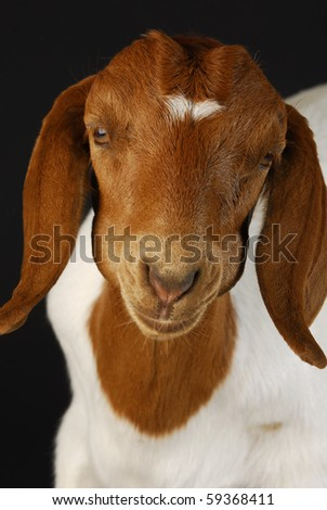 goat chewing on the cud - purebred south african boer