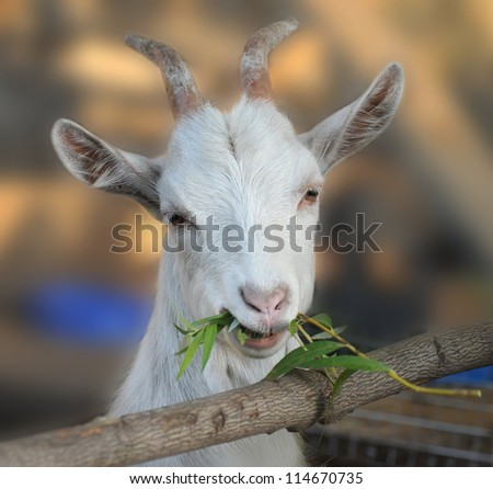Goat chews a branch - stock photo