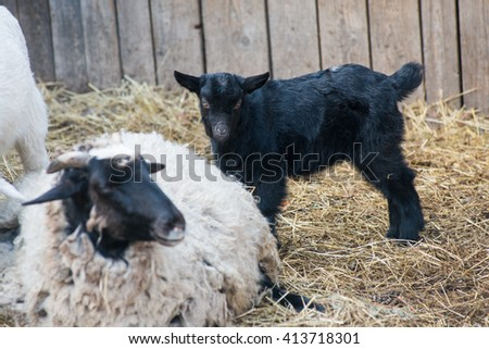Goat Closeup laying on the grass feeding - stock photo