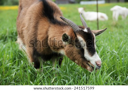 Goat.Domestic thoroughbred goat.Country life. - stock photo