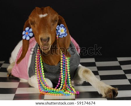 goat dressed up as a girl on black background - purebred south african boer - stock photo