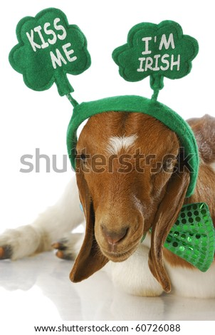 goat dressed up for st patricks day - kiss me i'm irish - purebred south african boer doeling - stock photo