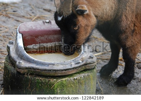 goat drinking water out of a pot - stock photo