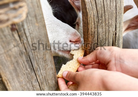 Goat eating from hand bread
