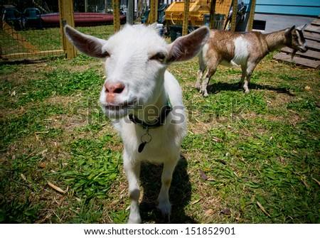 Goat face - stock photo