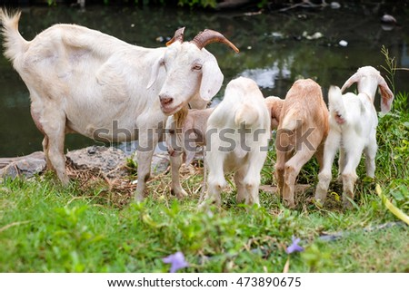 Goat family : Mother with her babies are eating grass near canal