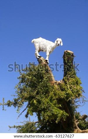 Goat feeding in argan tree. Marocco - stock photo