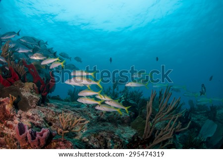 Goat fish schooling on the reef