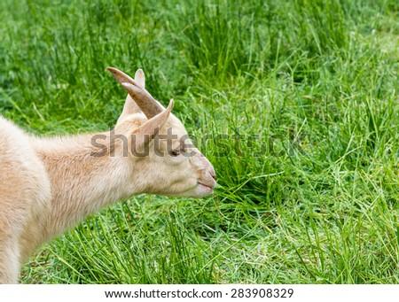 Goat grazing on fresh spring grass. Ecological/bio farming concept - stock photo