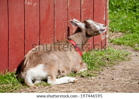 Goat has his eyes closes and appears to be sunning himself. - stock photo
