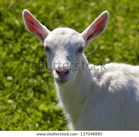 Goat in the grass close-up - stock photo