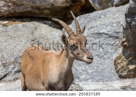 Goat in the high mountains Alps Austria - stock photo