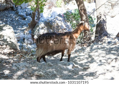 Goat in the mountains on Crete, Greece
