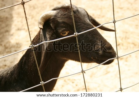 goat in the zoo - stock photo