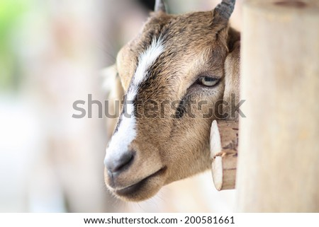 Goat in the zoo. - stock photo