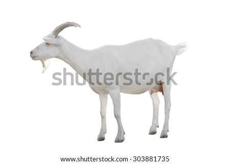 Goat  isolated on a white background - stock photo