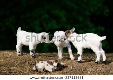 Goat kids - stock photo