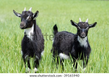Goat kids on pasture in summer - stock photo