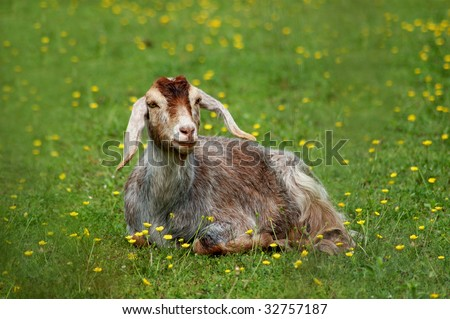 goat laying down in green field