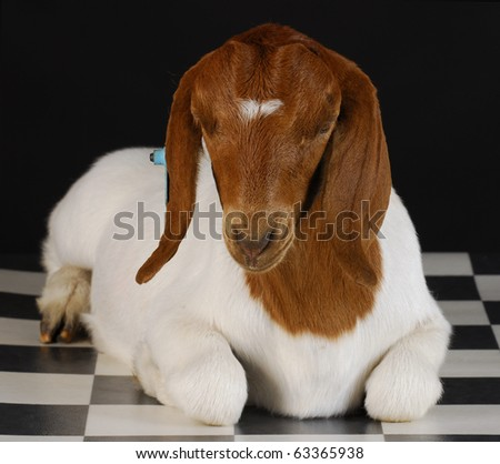 goat laying down on checkered floor with black background - purebred south african boer - stock photo