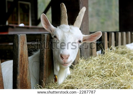 Goat looking into the camera with a questioning look - stock photo