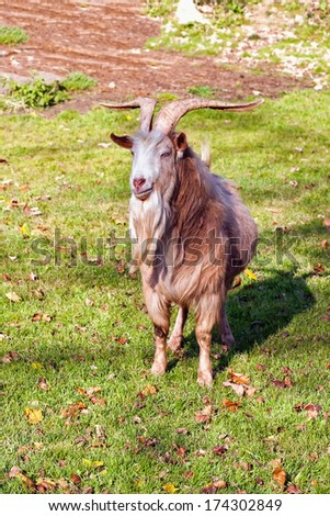 Goat male on the green grass  - stock photo
