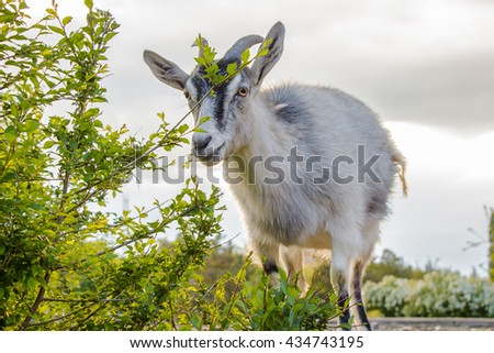 goat on a green lawn