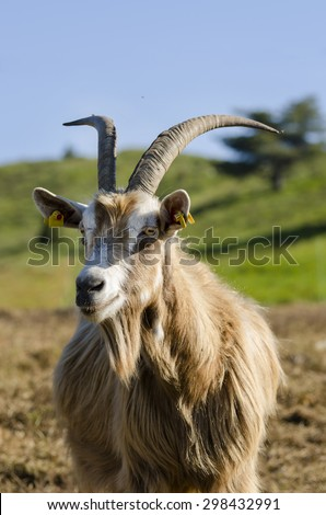 goat on a meadows in Liguria - stock photo