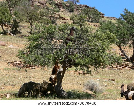 Goat on the argan tree in Morocco - stock photo