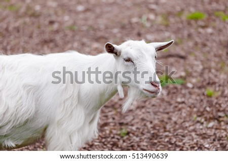 Goat outdoors farm animal white domestic countryside