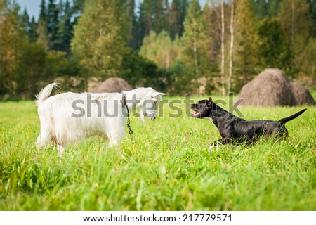 Goat playing with a dog on the pasture - stock photo