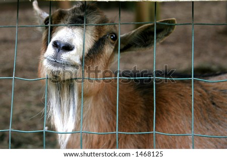 Goat poking his head through the fence