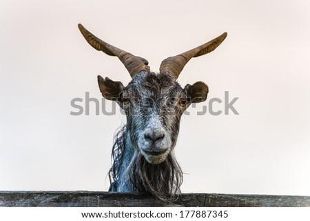 Goat portrait - stock photo