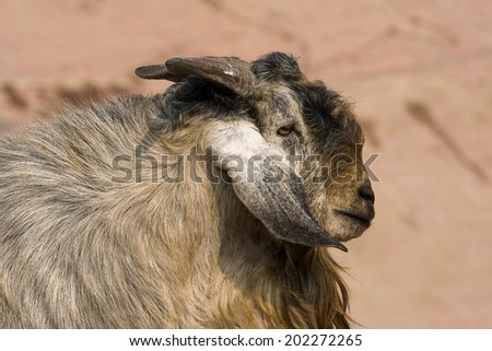 Goat portrait close up in India - stock photo