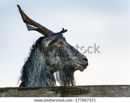 Goat portrait, profile - stock photo