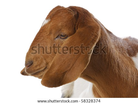 goat portrait - purebred traditional south african boer doe - 5 months old - stock photo