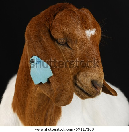 goat - purebred South African Boer on black background - stock photo
