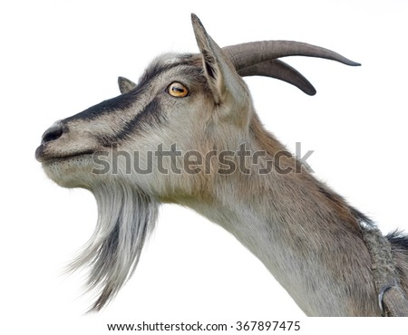Goat's head isolated on white background - stock photo