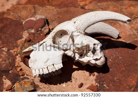 Goat skull on the rock close-up - stock photo