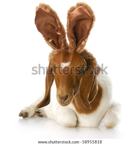 goat wearing bunny ears with reflection on white background - stock photo