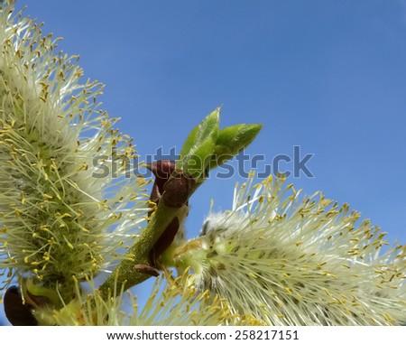 goat willow (Salix caprea) - stock photo