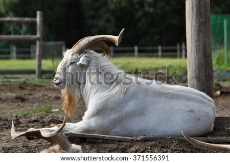 Goat with big horns and a beard during rest