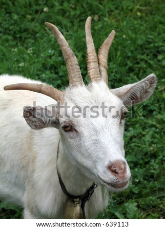 Goat with four horns - stock photo
